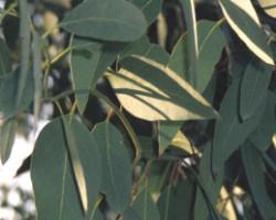 eucalyptus radiata leaves